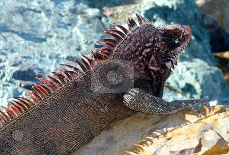 Colorful island iguana on rocks stock photo, Close-up detail of a colorful island iguana sunbathing on rocks by Jill Reid