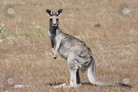 Australian Grey Kangaroo stock photo, Australian Grey Kangaroo in the dry outback by Christopher Meder