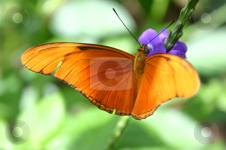 Orange Julia Butterfly stock photo, A brightly coloured orange Julia Butterfly alighting on a purple flower. This butterfly is also known as Dryas iulia (incorrectly spelled julia), or Julia Heliconian,  and is a species of brush-footed butterfly native to south and central America and the southern united States. by Alyce Taylor