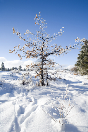 Winter Lace stock photo, A small oak tree coated in a heavy hoar frost by Mike Dawson
