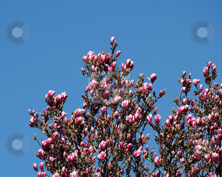 New Blooms stock photo, Low angle view of new pink blooms on a tree and a clear blue sky. by W. Paul Thomas