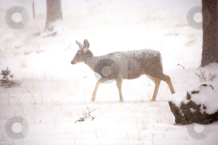 Winter Walk stock photo, A white tail doe making its way through a snow storm. by Mike Dawson
