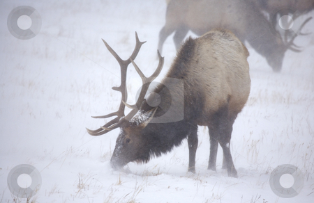 Frozen Grazing stock photo, A large bull elk trying to find a meal as a winter blizzard blows snow around him by Mike Dawson