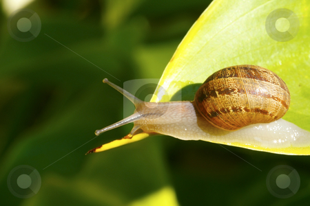 Snail on a leaf 5 stock photo, A snail heading for the end of a leaf by Chris Alleaume