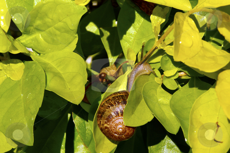 Snail on golden greenery stock photo, Common garden snail climbing through golden green leaves by Chris Alleaume