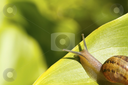 Snail on a leaf 4 stock photo, A snail on a garden leaf, heading towards the edge by Chris Alleaume