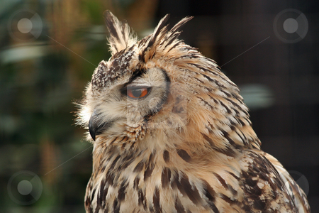 Long Eared Eagle Owl stock photo, Eagle owl in an enclosure, side profile. Includes some soft focus background elements by Helen Shorey
