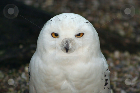 Snowy Owl stock photo, Snowy owl in an aviary, gravel & mesh background out of focus, beady eye stare by Helen Shorey