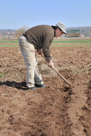 Covering onion stock photo, A man covering onion using a hoe. by Ivan Paunovic