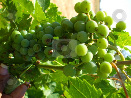 Grapes on Vine stock photo,  by Michael Felix