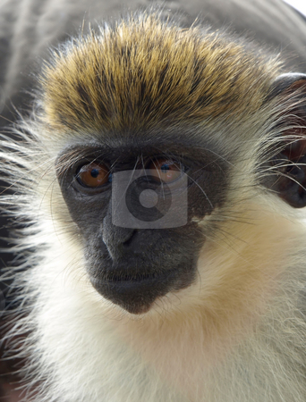 Close-up of green vervet monkey in St. Kitts stock photo, Close-up of playful green vervet monkey in St. Kitts by Jill Reid