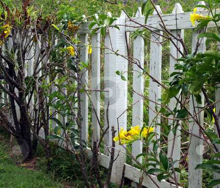 White painted picket fence and yellow flowering vine stock photo, A white painted wooden picket fence and yellow flowering vine by Jill Reid