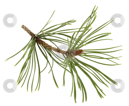 White pine twig with a flower bud stock photo, White pine twig with a flower bud in springtime isolated on white by Marek Uliasz