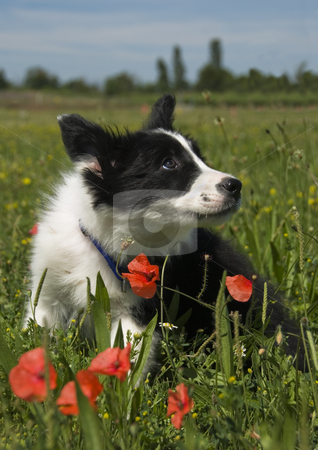 Puppy border collie  stock photo, Puppy border collie in a field with poppies by Bonzami Emmanuelle