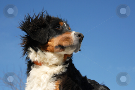 Young bernese mountain dog stock photo, Puppy purebred bernese mountain dog in a blue sky by Bonzami Emmanuelle