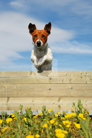 Jumping dog stock photo, Jumping purebred jack russel terrier in a field with yellow flowers by Bonzami Emmanuelle
