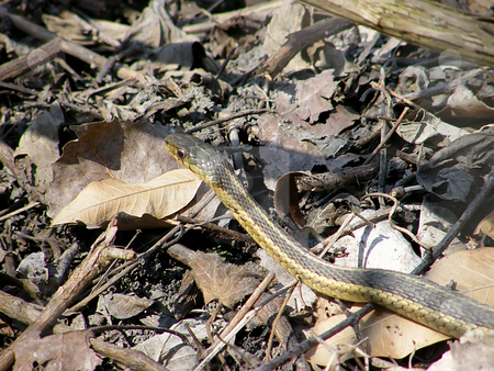 Gardner Snake in the Leaves stock photo, Gardner Snake Slithering over the fallen leaves in Nortwest Ohio. Gardner snakes are the single most widely distributed species of reptile in North America. by Dazz Lee Photography