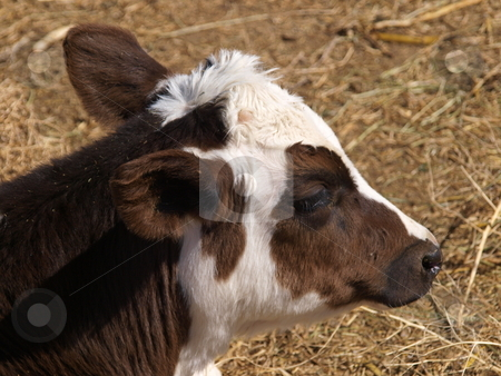 Young Calf stock photo, A color image of a young calf. by Michael Rice