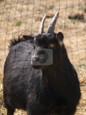 Goat stock photo, A color image of a goat. by Michael Rice