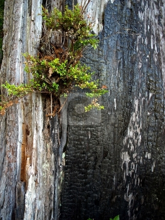 Foliage springs from charred redwood tree stock photo, New foliage grows out of charred redwood tree bark by Jill Reid