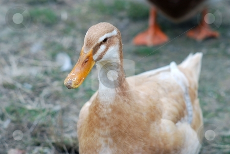 Duck stock photo,  by Sarka