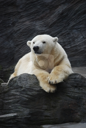 Polar bear stock photo,  by Sarka