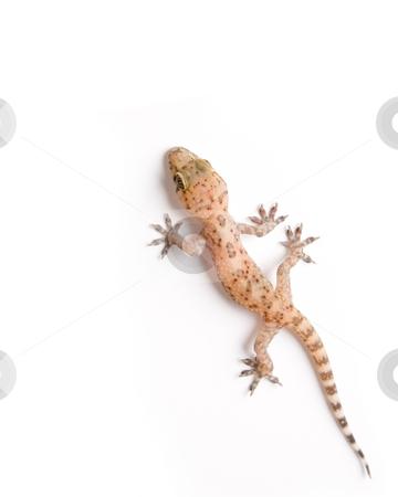 Gecko climbing stock photo, Studio shot of gecko isolated on white by iodrakon