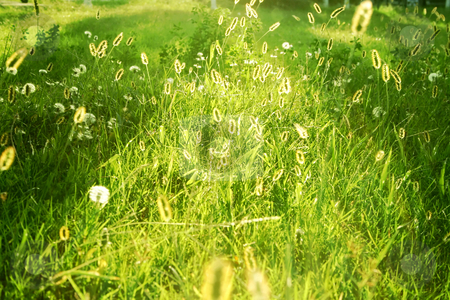 Meadow at dusk stock photo, Close up of meadow at dusk, backlit by sun, by iodrakon