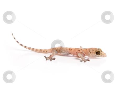 Gecko lurking stock photo, Studio shot of gecko isolated on white by iodrakon