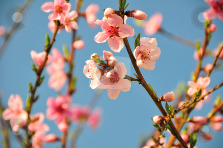 Blossom of peach - Prunus persica  stock photo, Prunus persica suggests the peach is native to Persia, it actually originated in China by Zheko Zhekov