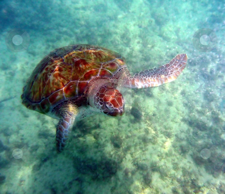 Front view of sea turtle stock photo, Sea turtle in the open ocean swimming through clear water by Jill Reid