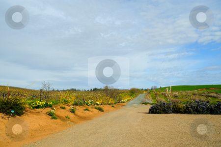 Country Road And Flowers stock photo, A gravel road leading through wild flowers and rolling hills by Lynn Bendickson