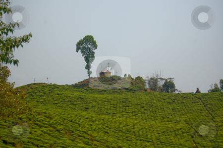 Tea garden stock photo,  by Piero Biondo