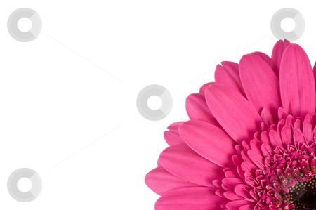Pink Gerber Daisy Quarter stock photo, Beautiful Pink Gerber Daisy flower close-up by G?