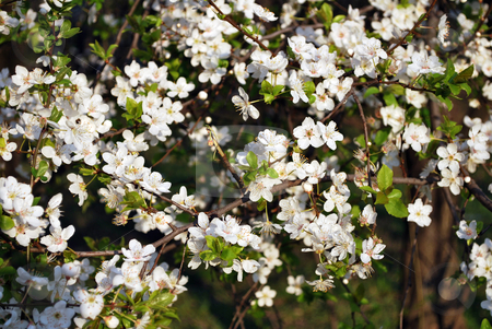 White Flower On Tree stock photo, White flower on tree in the spring by Tudor Antonel adrian