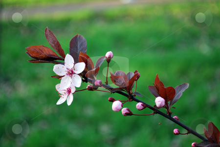 Pink Flowers stock photo, Pink flowers on tree in the spring by Tudor Antonel adrian