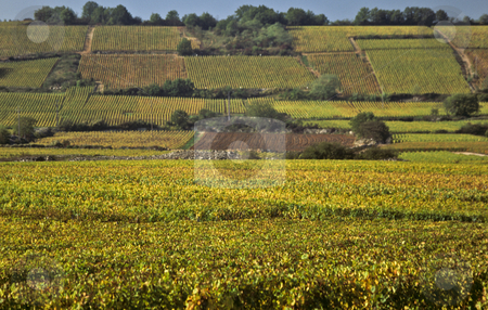 Golden vines cover the Cote d'Or in autumn stock photo, Autumn gold covers Cote d'Or hillside vineyards near Montrachet, Burgundy, France by GB Tittle