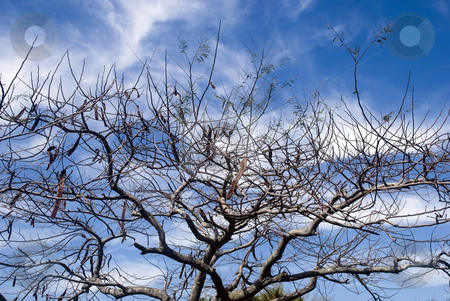 Bare Tree stock photo, Bare tree against a nice sky by Robert Cabrera