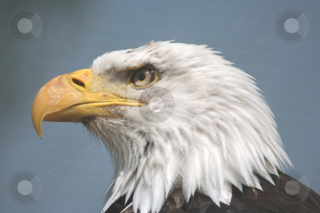 American Fish Eagle stock photo,  by Helen Shorey