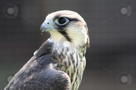 Hobby Hawk stock photo,  by Helen Shorey