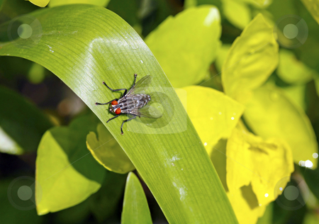 African sarcophaga fly stock photo, African sarcophaga fly sitting on a broad leaf by Chris Alleaume