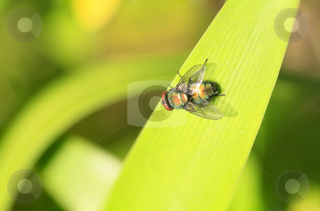 Blue fly on a bright leaf stock photo, Blue fly sitting on a bright leaf in a garden by Chris Alleaume