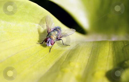 Take a look at me now stock photo, Close up / macro of a blue fly on a broad leaf by Chris Alleaume