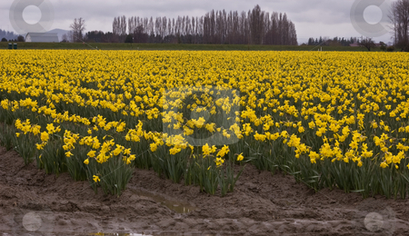 Massive Field of Yellow Daffodils stock photo, Photo of a massive field of yellow daffodil flowers in full bloom in a rural setting.  Gorgeous springtime scene. by Valerie Garner