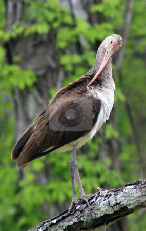 Immature Ibis Preening stock photo, Immature Ibis preening feathers by Marburg