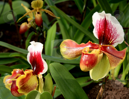 Paphiopedilum Orchid stock photo, Paphiopedilum Orchid photographed in Frankfurt, Hessen, Germany by Manuela Schueler