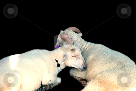 Sheep and ram stock photo, Sheep and ram isolated on a black by Alexey Rumyantsev