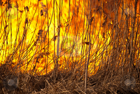 Reeds is on the fire stock photo, Dried up growing reeds is on the fire by Alexey Rumyantsev