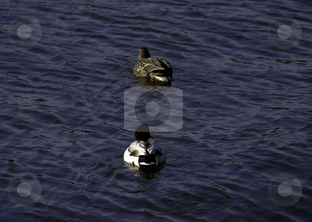 Ducks In The Water stock photo, Pair of Male and Female Ducks In The Baltimore Inner Harbor by Ben Havilland