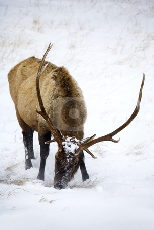 Frozen Food stock photo, A large bull elk finds the food frozen and under heavy snow in a winter snowstorm in the Rockies by Mike Dawson